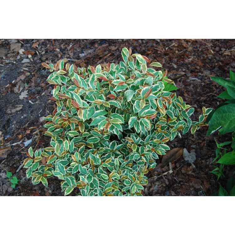 Cleyera-japonica-Variegata-Duncan-and-Davies-form-001-JCRA-7-16-08.JPG