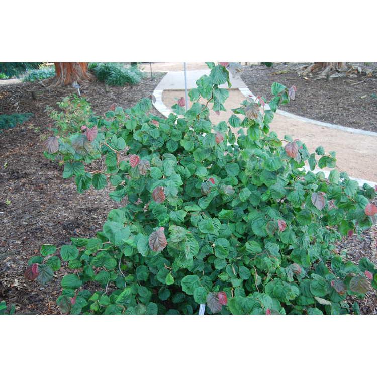Corylus-avellana-Red-Majestic-001-JCRA-7-30-08.JPG