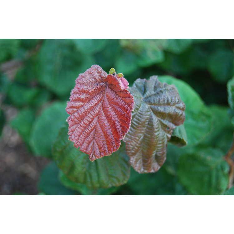 Corylus-avellana-Red-Majestic-002-JCRA-7-30-08.JPG