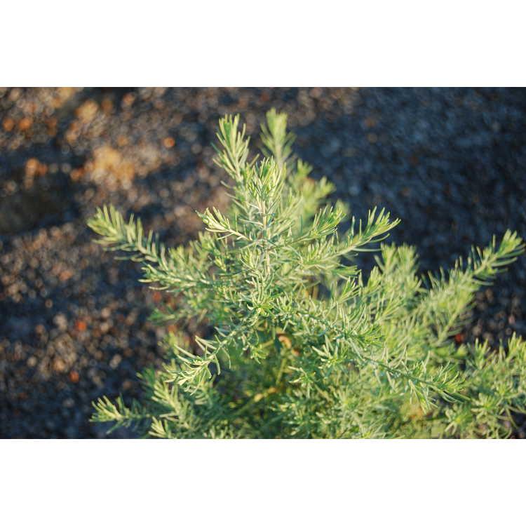Widdringtonia nodiflora - African mountain cedar