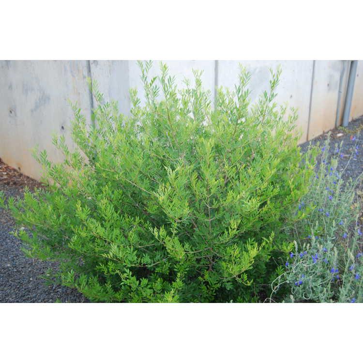 Fraxinus greggii - littleleaf ash