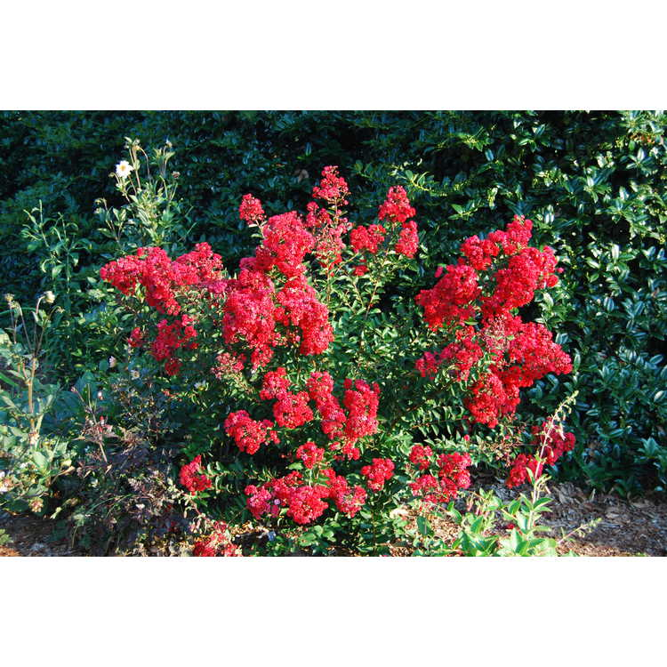 Lagerstroemia indica 'Whit IV' - Red Rocket red crepe myrtle