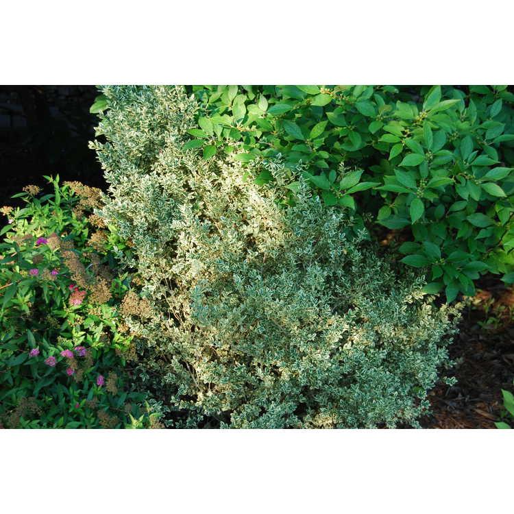 Buxus sempervirens 'Elegantissima' - variegated common boxwood