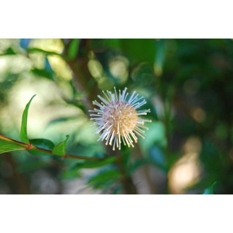 Adina rubella 'Purple Flower' - purple Chinese buttonbush