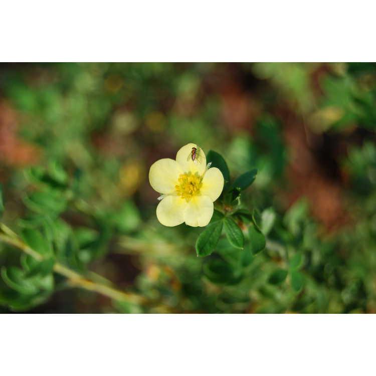 Potentilla fruticosa 'Maanelys' - Moonlight shrubby cinquefoil
