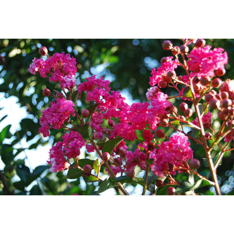 Lagerstroemia indica 'Whit I'