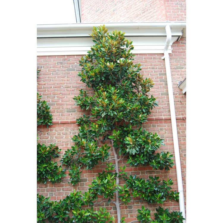 Magnolia grandiflora 'Little Gem' - Southern magnolia