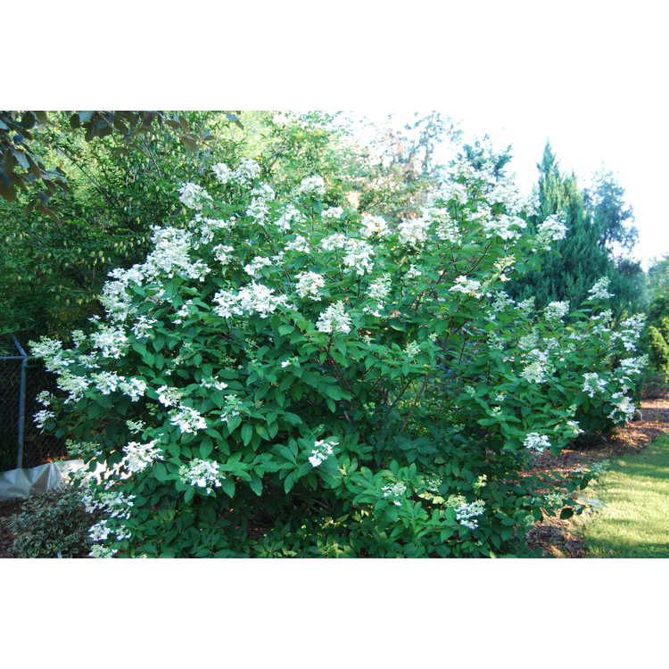 Hydrangea paniculata 'Unique' - panicled hydrangea