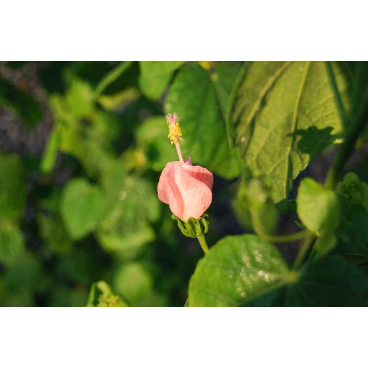 Malvaviscus arboreus drummondii Pam Puryear