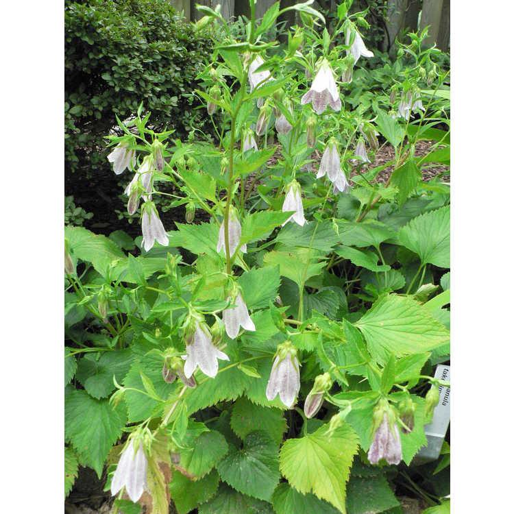 Campanula takesimana - Korean bellflower