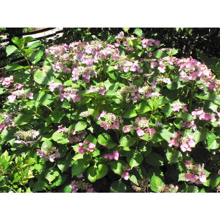Hydrangea macrophylla 'Möwe' - French hydrangea