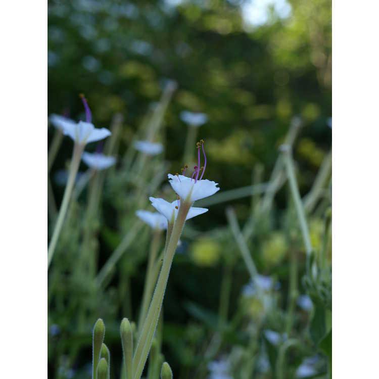 Mirabilis longiflora