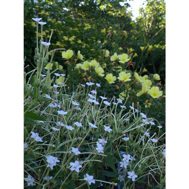 Mirabilis longiflora - sweet four o'clock