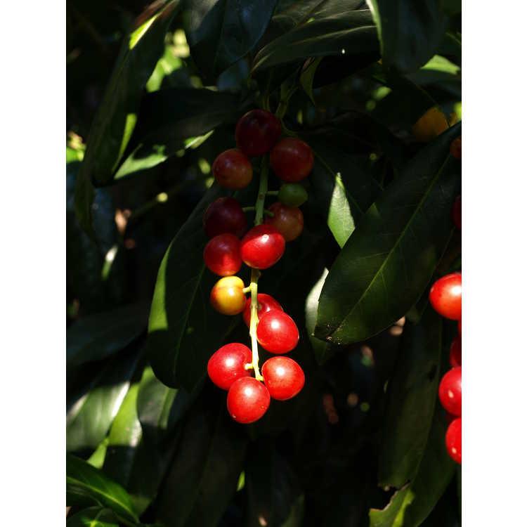 Prunus laurocerasus 'Batumi Rubies' - upright common cherrylaurel