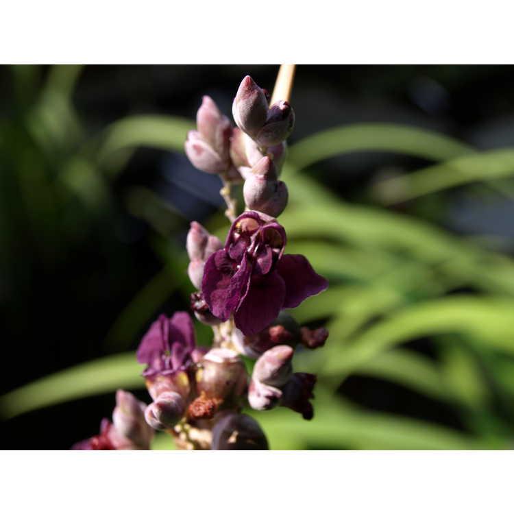 Thalia dealbata - powdery thalia