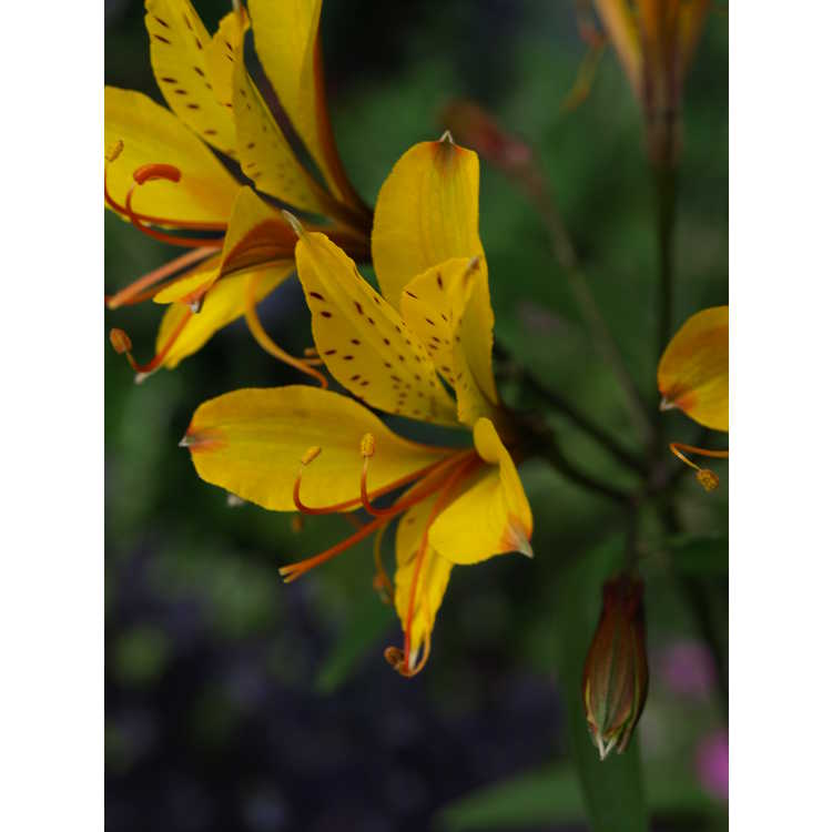 Alstroemeria 'Sweet Laura' - golden Peruvian lily