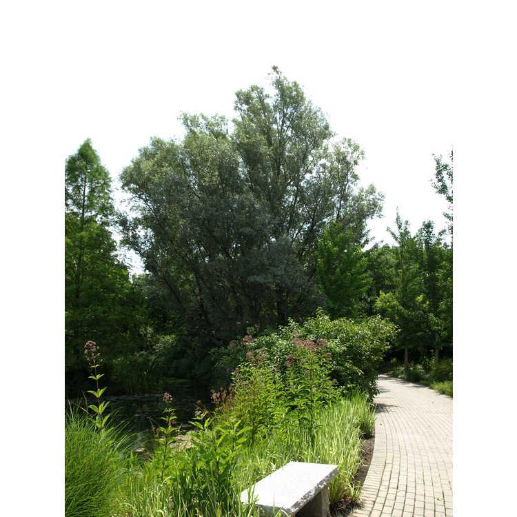 Salix alba var. sericea - silver willow