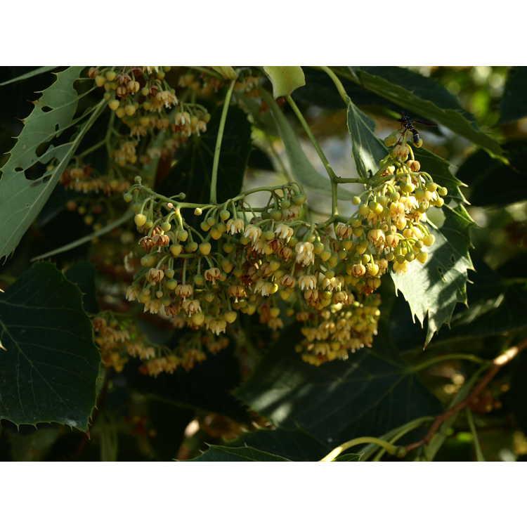 Tilia henryana - Henry's linden