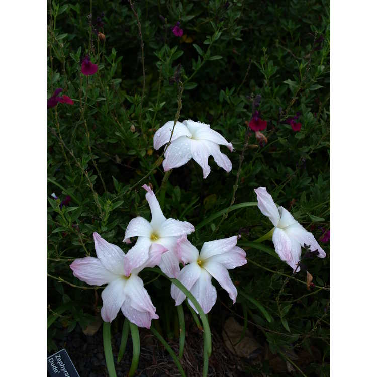 Zephyranthes 'Big Dude'