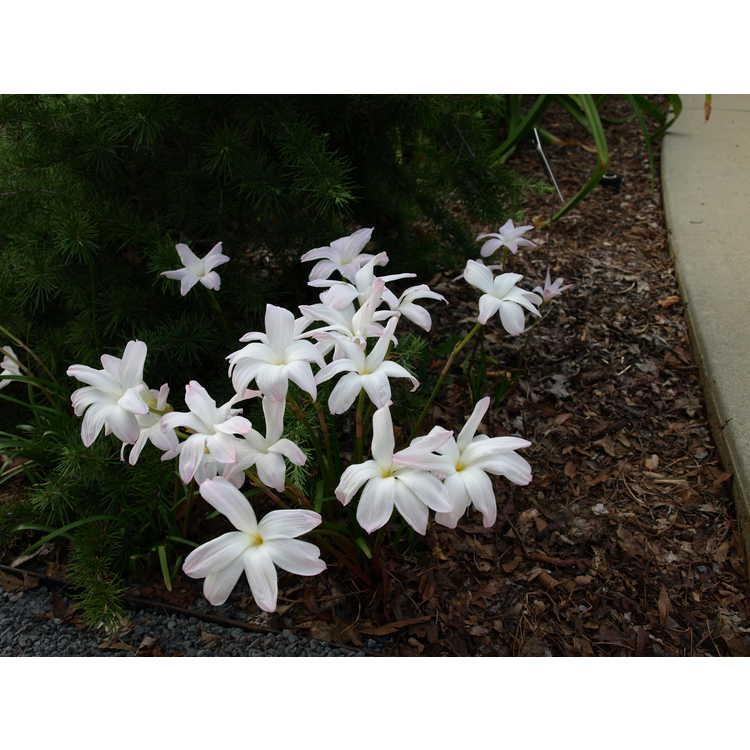 Zephyranthes 'Labuffarosea' - rain-lily