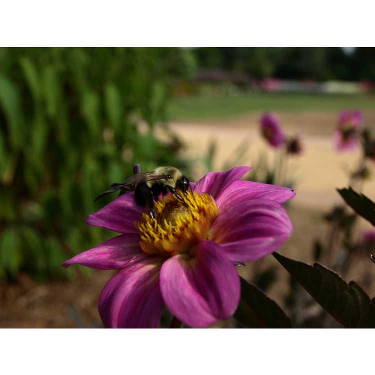 Dahlia 'Joliet' - garden dahlia