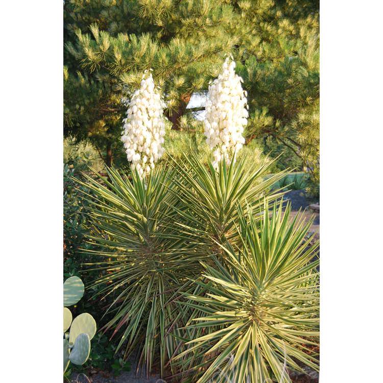 Yucca aloifolia 'Variegata' - variegated Spanish bayonet