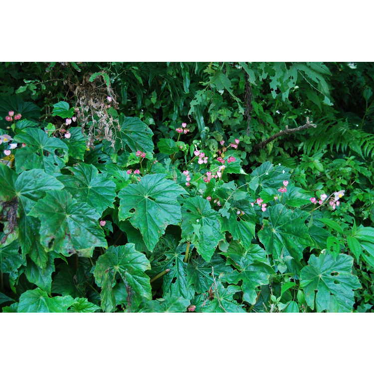 Begonia chitoensis - hardy Taiwan begonia