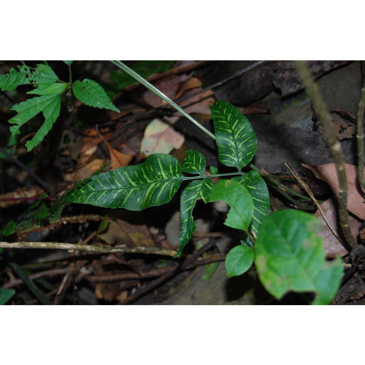 Conniogramme-japonica-variegated-001-8-15-08-Wuling-Farm.JPG