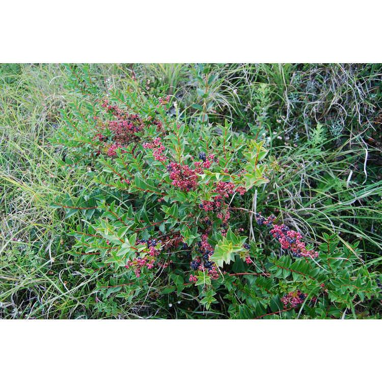 Coriaria-japonica-var-intermedia-002-Hehuanshan-8-18-08.JPG