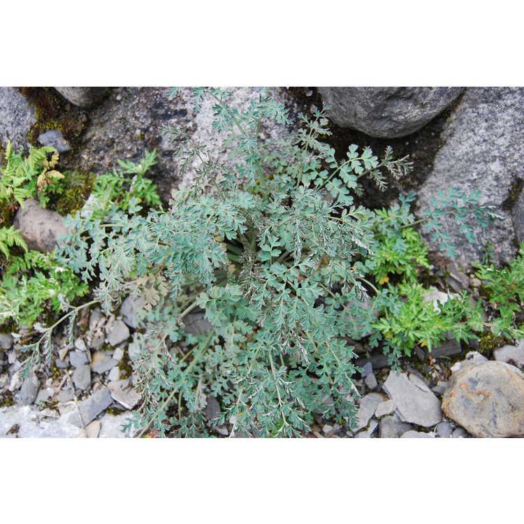 Corydalis-ophiocarpa-001-Hehuanshan-8-18-08.JPG