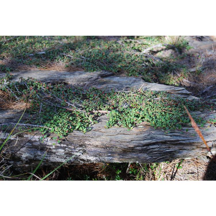 Cotoneaster-morrisonensis-001-Hehuanshan-8-18-08.JPG