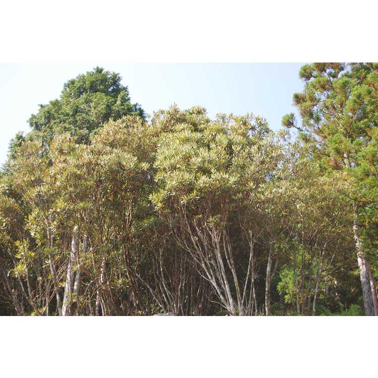 Rhododendron formosanum