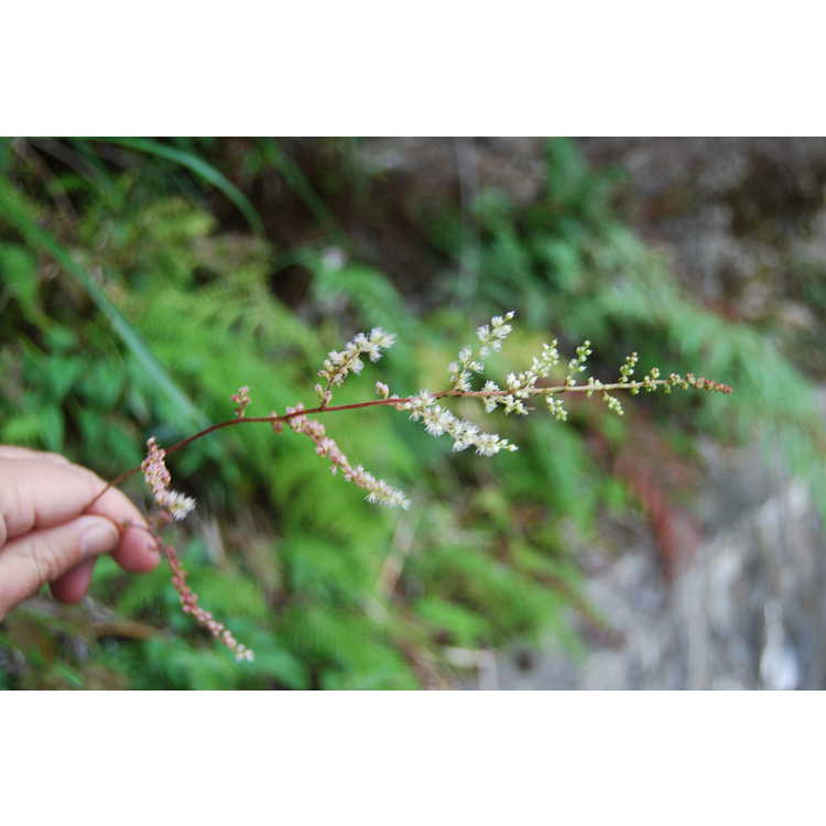 Astilbe longicarpa - astilbe