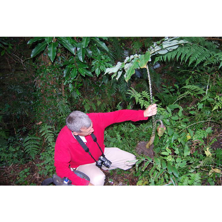 Arisaema taiwanense - Formosan cobra-lily