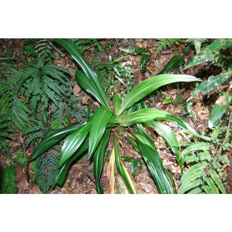 Rohdea chinensis