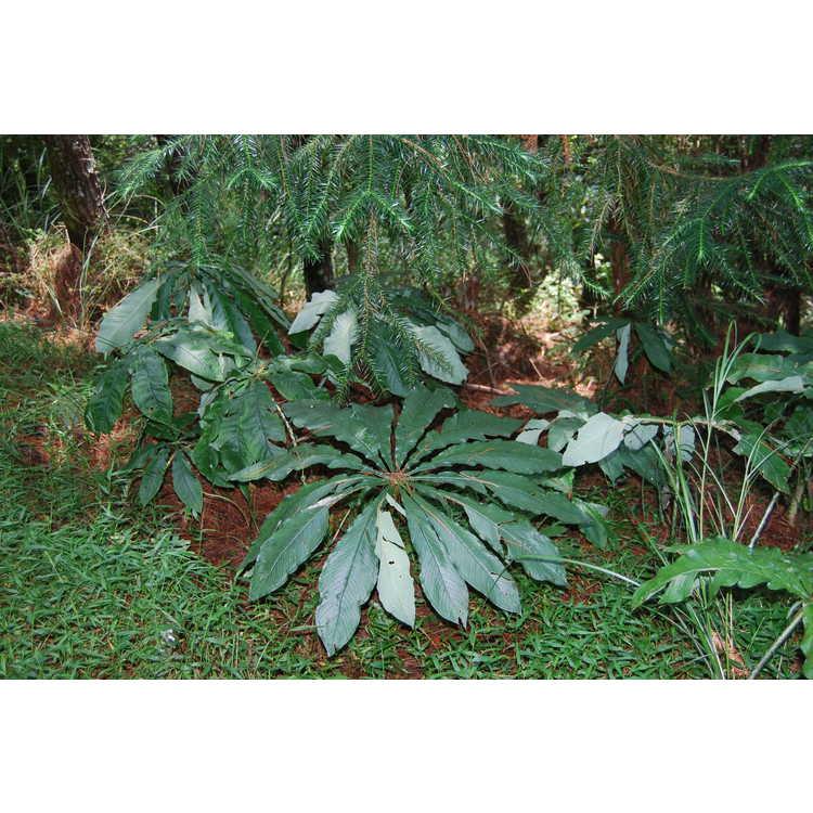 Arisaema taiwanense (silver sheen)