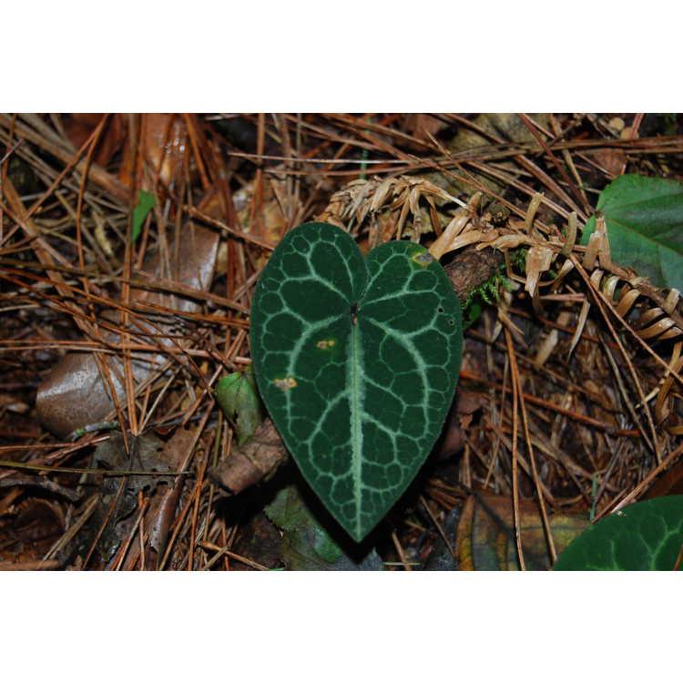 Asarum macranthum - Taiwan wild ginger