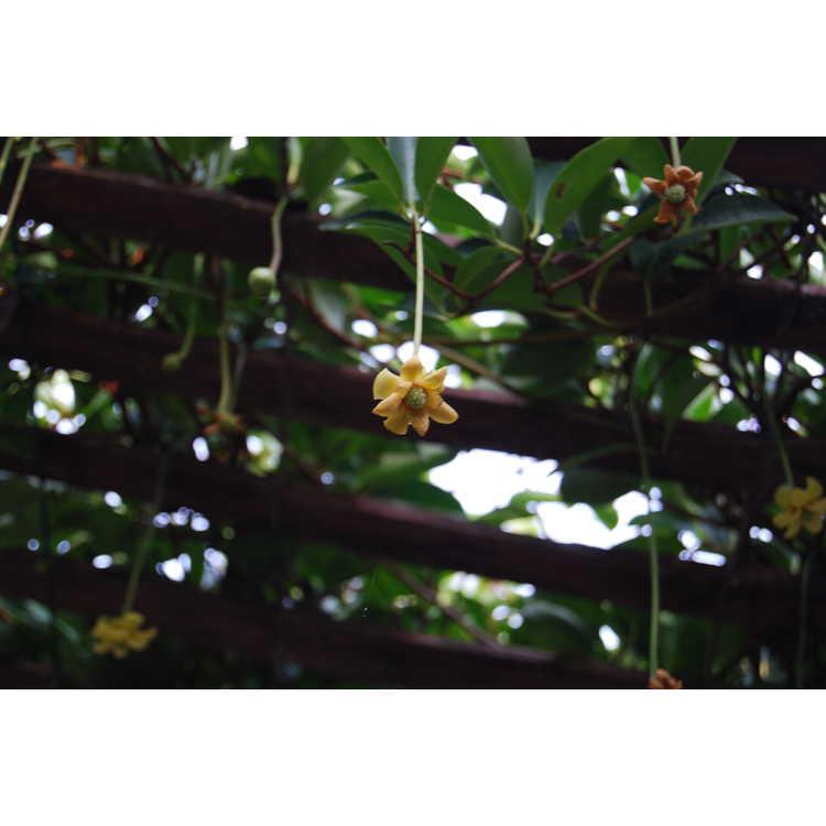Kadsura longipedunculata