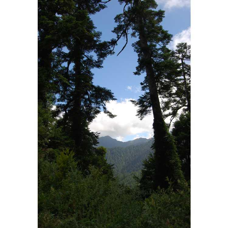 Picea morrisonicola - Taiwan spruce