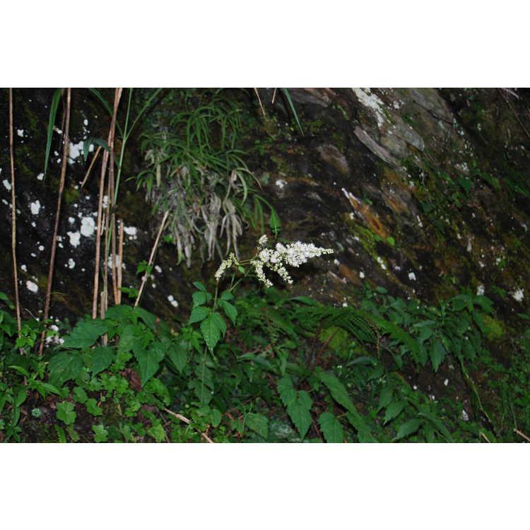 Astilbe longicarpa