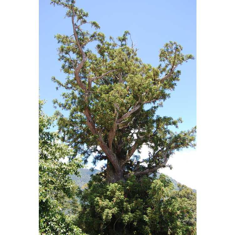 Cunninghamia lanceolata var. konishii - Formosan China-fir