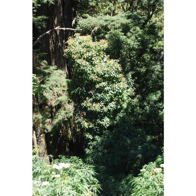 Schizophragma integrifolium var. fauriei