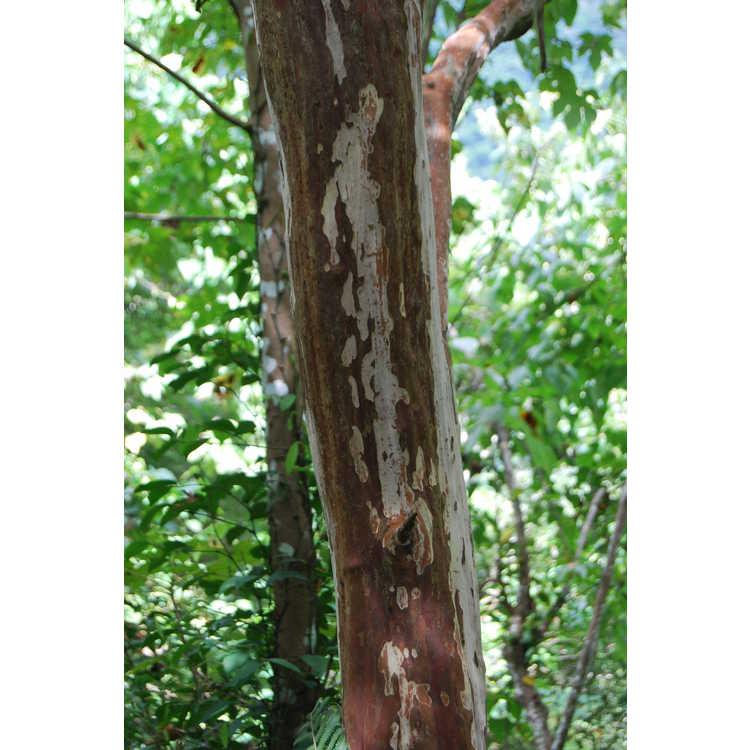 Lagerstroemia subcostata - white-barked crepe myrtle