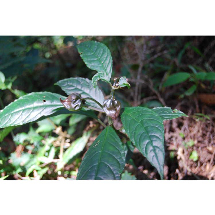 Hemiboea bicornuta