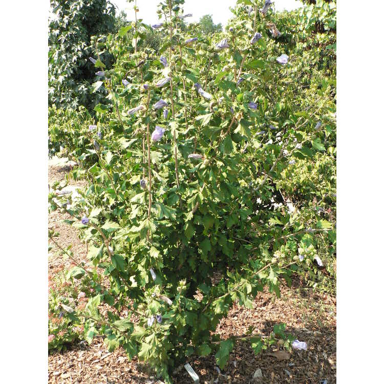 Hibiscus syriacus 'Marina' - Blue Satin rose-of-Sharon