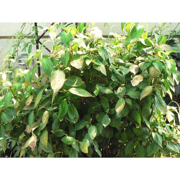Hydrangea serrata 'Kurenai' - mountain hydrangea