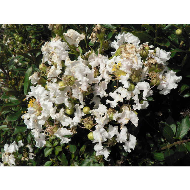 Lagerstroemia 'Gamad III' - Snow Dazzle compact crepe myrtle