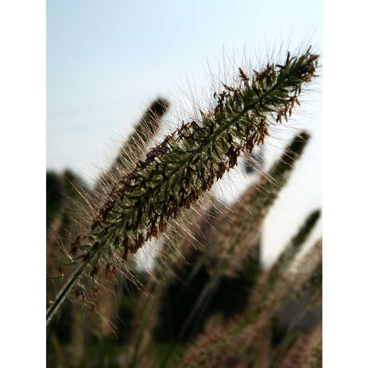 Pennisetum alopecuroides 'Cassain's Choice'