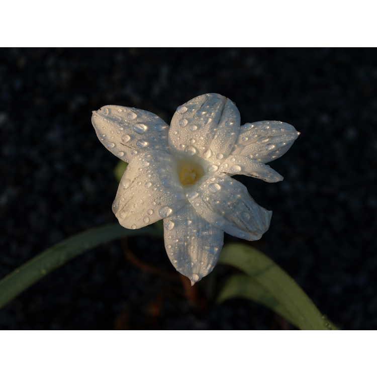 Zephyranthes drummondii