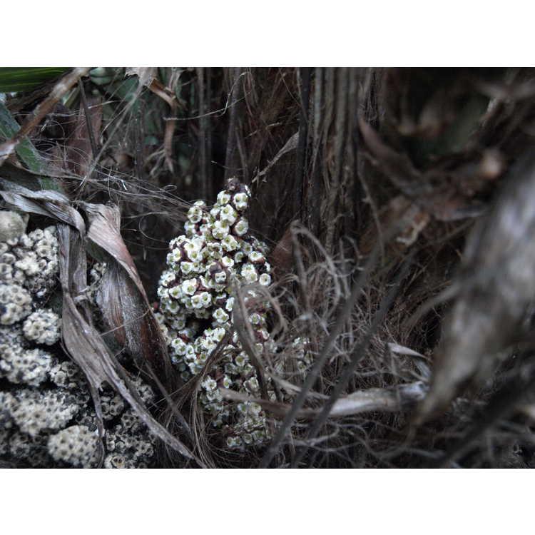 Rhapidophyllum hystrix - needle palm